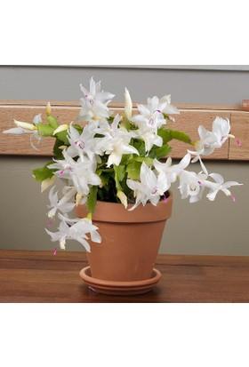 Karadeniz Fidancılık Yılbaşı Çiçeği Schlumbergera ( Yılbaşı Kaktüsü ) Beyaz Renkli