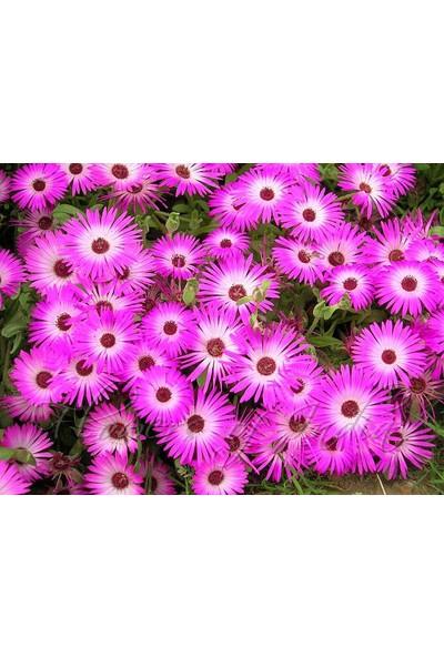Karadeniz Fidancılık Buz Çiçeği