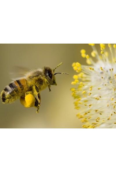 Bozdağ Arı Poleni Kutusu 100 Gram