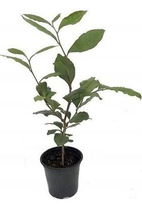 Plantistanbul Siyah Çay Fidanı Saksıda