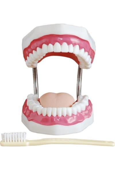 ECE Diş Bakım Modeli 32 Dişli - Diş Fırçası İle - 24cm x 16.2cm x 13.7cm