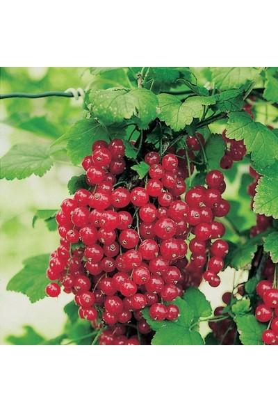 Boothas Kırmızı Frenk Üzümü Tohumu 25'li + Özel Toprak + Saksı + Tohum
