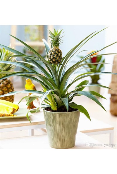 Boothas Ananas Tohumu Saksıda Bonsai Ananas Tohumu 7'li + Torf + Saksı + Tohum