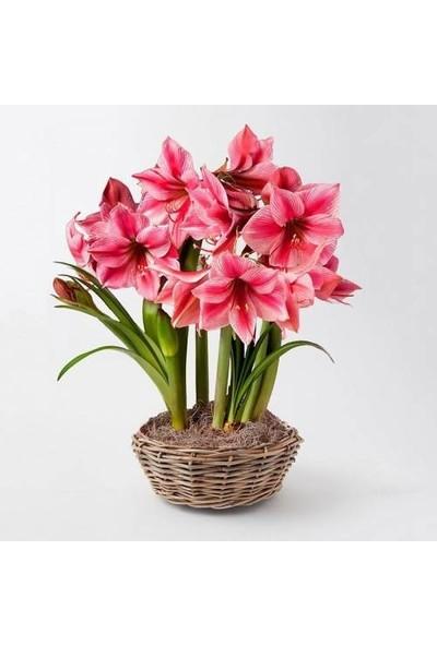 Boothas Nergis Zambağı Çiçeği Tohumu 10'lu + Torf + Saksı + Tohum