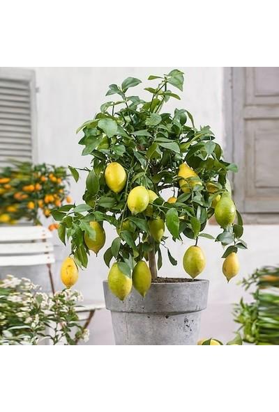 Boothas Bonsai Limon Tohumu 10'lu + Torf + Saksı + Tohum