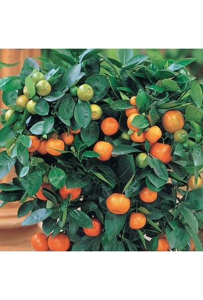 Berke Fidancılık Calamondin Fidanı (60-90 Cm Torbalı) Bol Meyveli