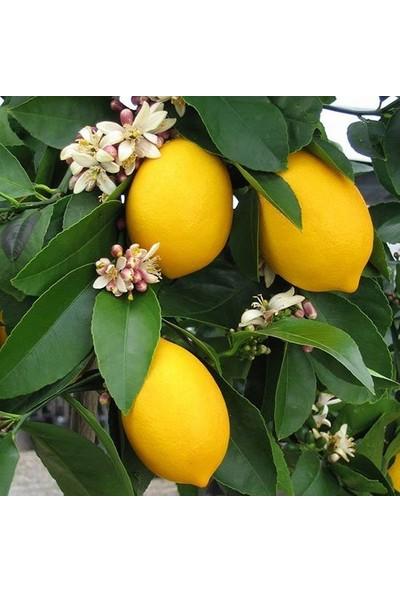 Berke Fidancılık Mayer Limon (Torbalı Aşılı 80 Cm Üzeri)