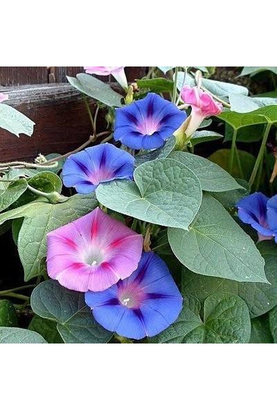 Berke Fidancılık Sarmaşık Çiçeği Tohumu 1 Paket (50 Adet)