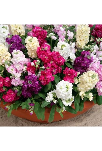 Berke Fidancılık Şebboy Çiçeği Karışık Renk Çiçek Tohumu 1 Paket (100 Adet)