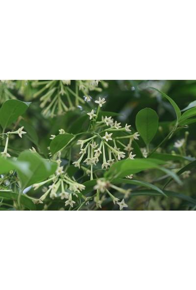 Plantistanbul Melisa Parfüm Çiçeği Kolonya Çiçeği 20-40 cm Saksıda
