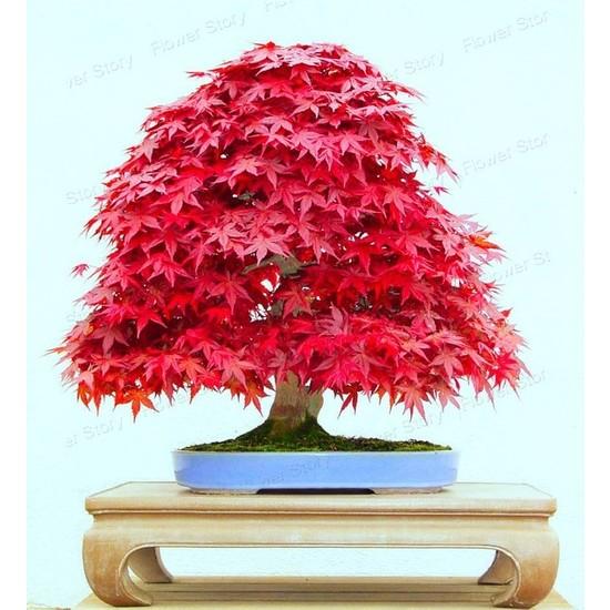 Boothas Kırmızı Japon Ağacı Bonsai Tohumu 10'lu + Saksı + Torf + Tohum