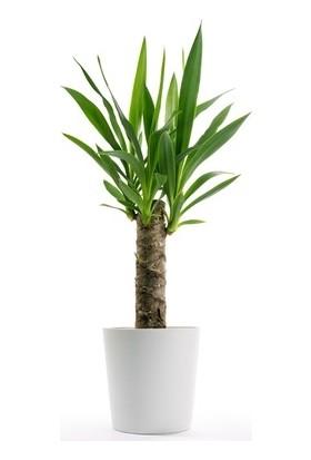 Berceste Peyzaj Yucca Jawel Avize Çiçeği Çelik Gövde 40-50 cm Salon Ev Bitkisi