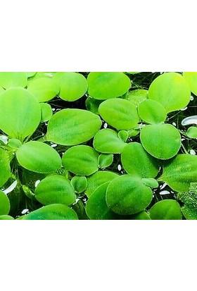 Bio Aquatic Su Marulu (Pistia Stratiotes) İki Adet