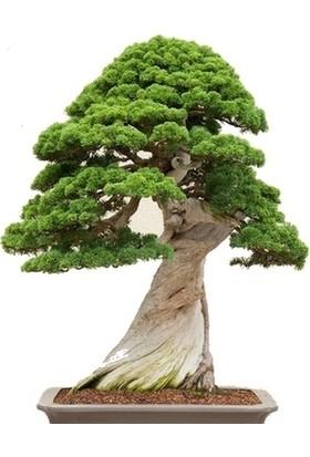 Bahçe Life Tapınak Ağacı Bonsai Yapılabilir Ağaç Tohumu Toprak + Saksı Seti