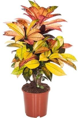 Berceste Peyzaj Croton Iceton Sarı 150 cm Salon Bitkisi