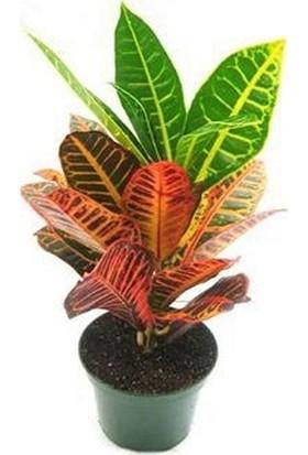 Berceste Peyzaj Kraton Bitkisi Croton Petra 17 cm Saksıda 60 cm Salon Bitkisi Ofis Bitkisi Ev Bitkisi