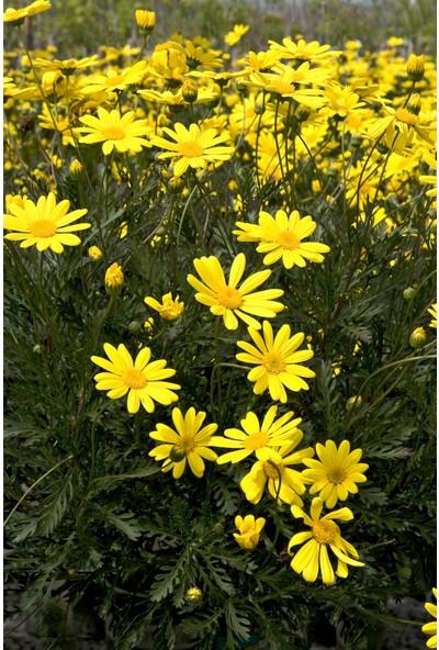 Plantistanbul Melisa Parfüm Çiçeği Süs Adaçayı Ağaç Menekşesi Sarı Çalı Papatyası Fidan Paketi