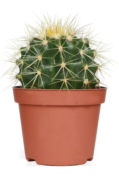 Kaktüs Bahçe Echinocactus Grusonii