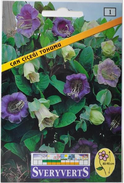 Sveryverts Çan Çiçeği Tohumu