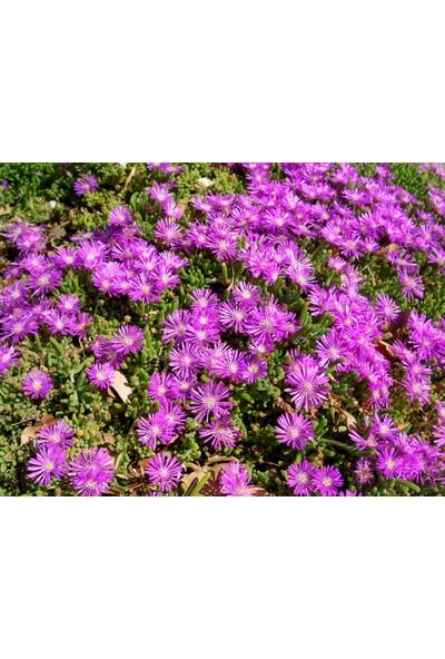 Plantistanbul Drosanthemum Floribundum Acem Halısı Askılı Saksıda