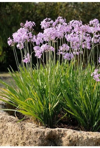 Plantistanbul Tulbaghia Violacea Sarımsak Çiçeği Saksıda
