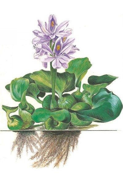 Bio Aquatic Su Sümbülü Eichhornia Crassipes