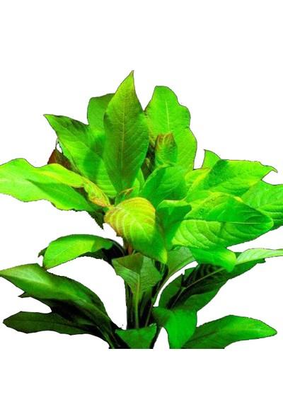 Bio Aquatic Limon Bitkisi Geniş Yapraklı (Hygrophila Corymbosa Broad Leaf) 1 Adet