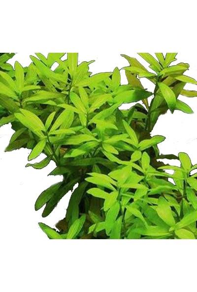 Bio Aquatic Zeytin (Hygrophila Polysperma) Akvaryum Bitkisi 1 Adet