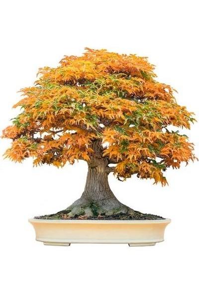Bahçe Life Trident Maple Bonsai Yapılabilir Ağaç Tohumu + Toprak + Saksı Seti