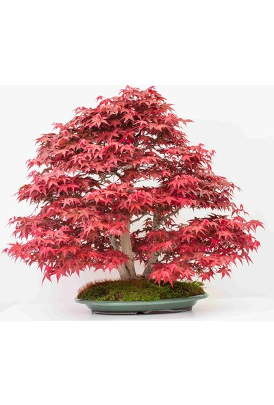 Bahçe Life Alev Kırmızı Akça Ağaç Bonsai Yapılabilir Ağaç Tohumu + Saksı + Toprak Seti