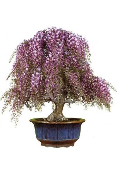 Bahçe Life Mavi Salkım Akasya Bonsai Yapılabilir Ağaç Tohumu + Saksı + Toprak Seti
