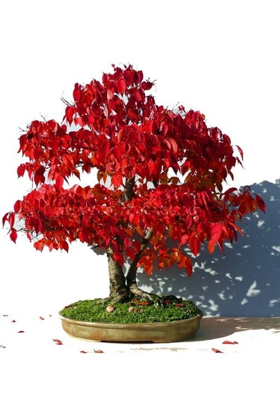 Bahçe Life Keyaki Bonsai Yapılabilir Ağaç Tohumu + Saksı + Toprak Seti