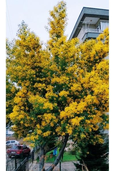 Sıla Ormancılık Mimoza Fidanı