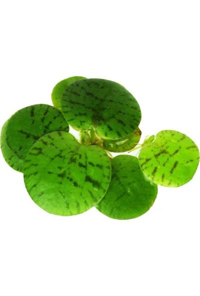 Bio Aquatic Limnobium Laevigatum Amazon Frogbit Akvaryum Bitkisi Beş Adet