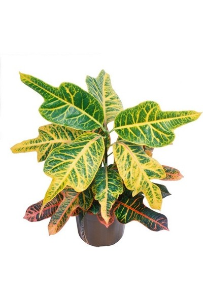 Berceste Peyzaj Kraton Bitkisi Croton Excellent 17 cm Saksıda 60 cm Salon Ev Bitkisi