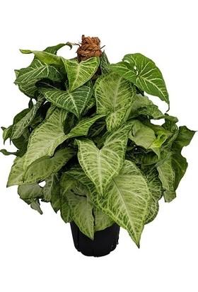 Plantistanbul Syngonium Podophyllum Ok Başı Sarmaşığı, Saksıda