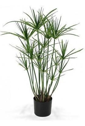 Plantistanbul Cyperus Alternifolius Japon Şemsiyesi, +120 Cm, Saksıda