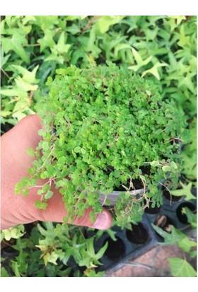 Tunç Botanik Arap Saçı Helxine Soleirolii Teraryum Bitkisi 100'lü