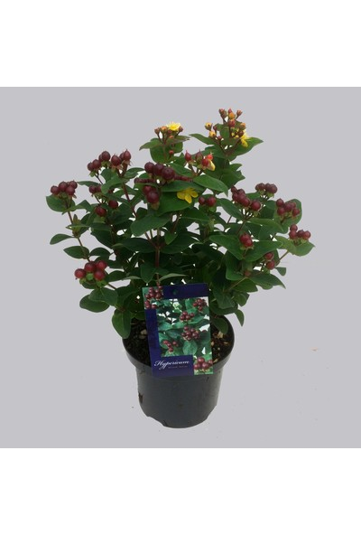 Plantistanbul Hypericum Miracle Marvel Bordo Meyveli Kantaron Çiçeği, Saksıda