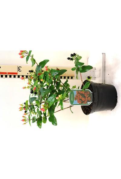 Plantistanbul Hypericum Miracle Attraction Kırmızı Meyveli Kantaron Çiçeği, Saksıda