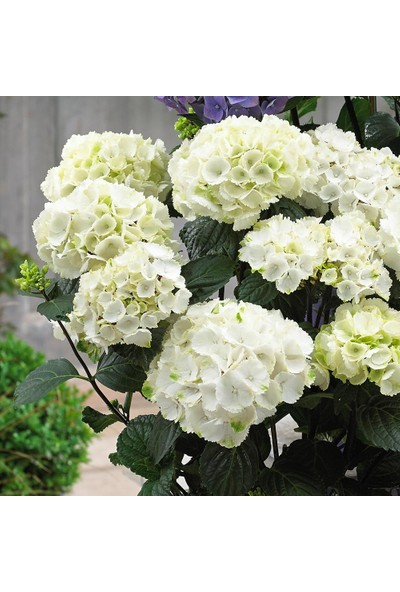 Plantistanbul Hydrangea Macrophylla White Beyaz Ortanca, Ithal, Saksıda