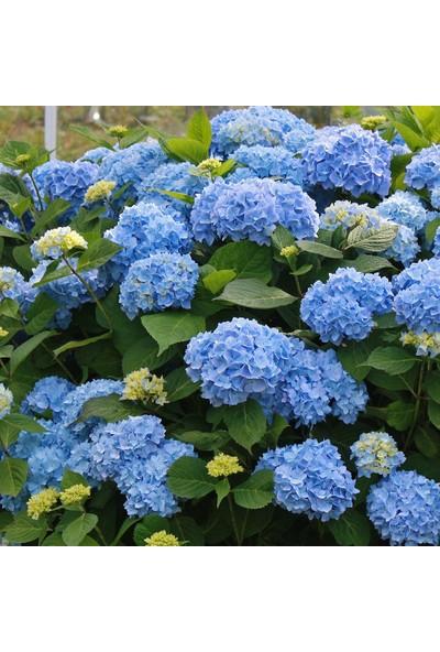 Plantistanbul Hydrangea Macrophylla Blue Mavi Ortanca , Ithal, Saksıda