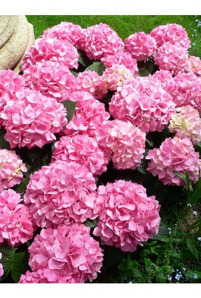 Plantistanbul Hydrangea Macrophylla Pink Pembe Ortanca, Ithal, Saksıda