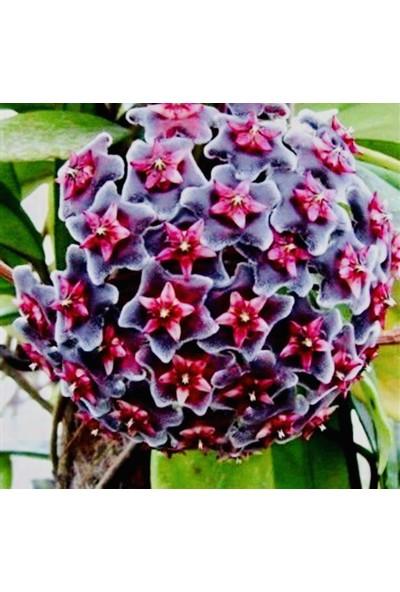 Akdeniz Tarım Hoya Royal Hawaiian Purple 40-60 cm Boyunda Kokulu Mum Çiçeği Bitkisi