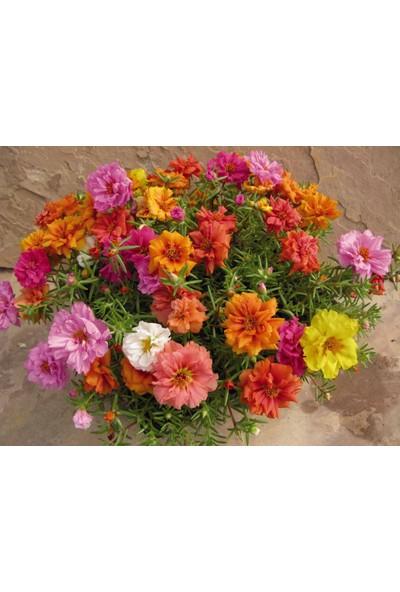 Plantistanbul Ipek Şellaki Kedi Tırnağı Karışık Renk Çiçek Tohumu +- 100'lü