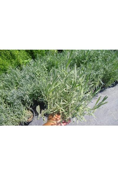Tunç Botanik Lavanta Fidanı Saksıda 20 - 30 cm 3'lü