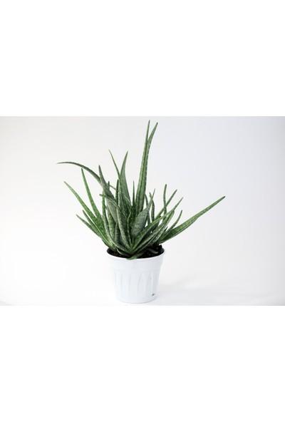 Aloe Vera 30/40 cm Çok Dallı