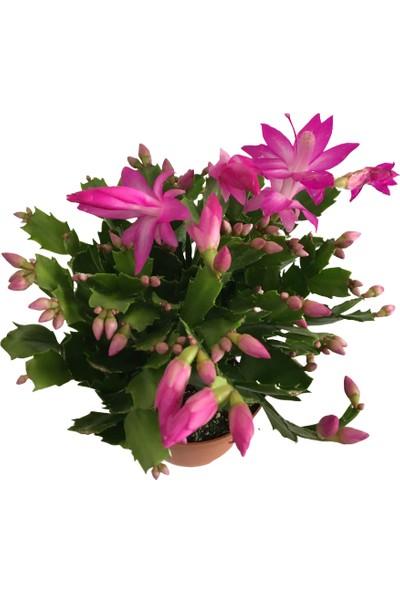 Armenbotanik Yılbaşı Çiçeği Schlumbergera Yılbaşı Kaktüsü