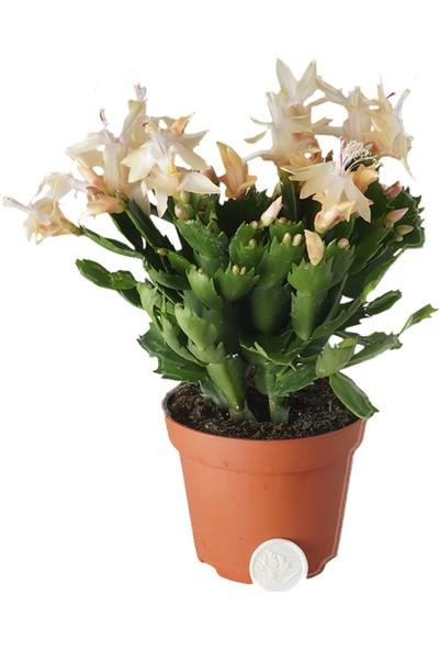 Heryer Bitki Yılbaşı Kaktüsü (Yılbaşı Çiçeği) - Saksı Çiçekleri