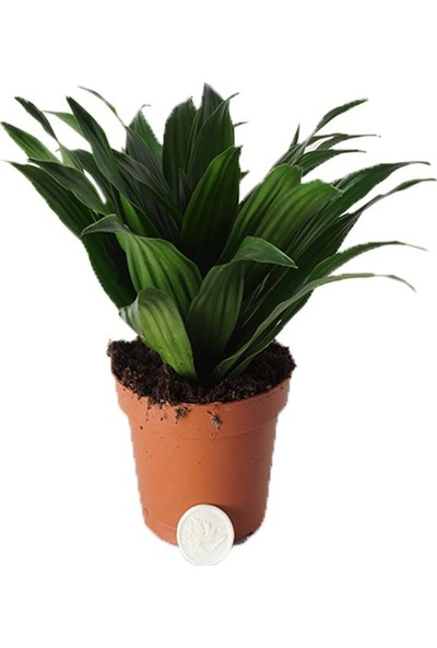Heryer Bi̇tki̇ Dracena Compacta Saksı Çiçekleri
